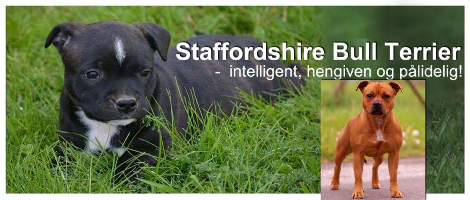staffordshire bull terrier til salgs